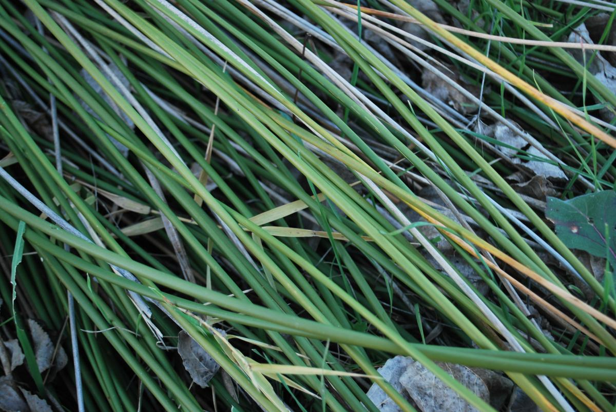 Grass Leaf Plant