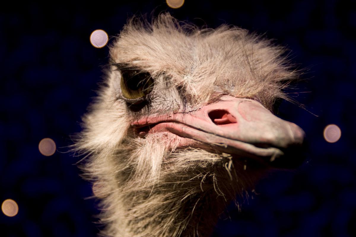 Ostrich bird animal  #22206