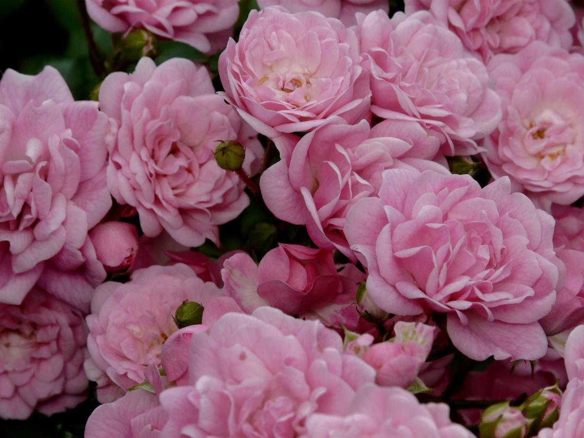 Pink Rose Bouquet #222283