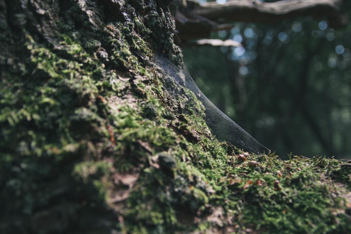 cobweb tree forest
