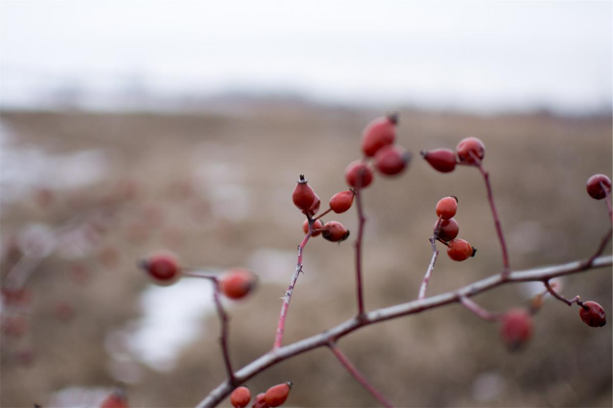 red berries branches