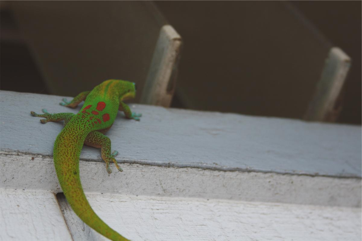 Lizard  #23684