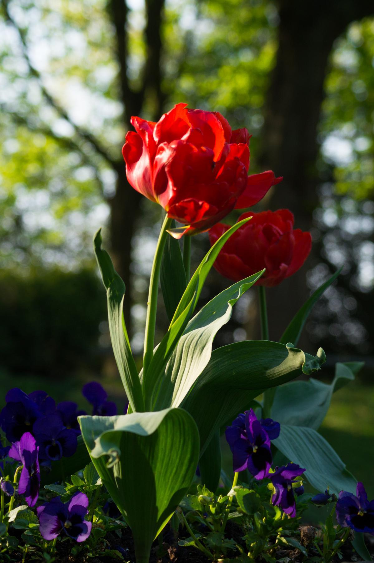 Fleurs de pivoine jardin #23701