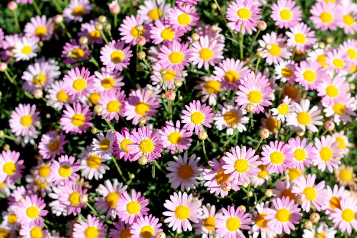 Daisy Flower Aster