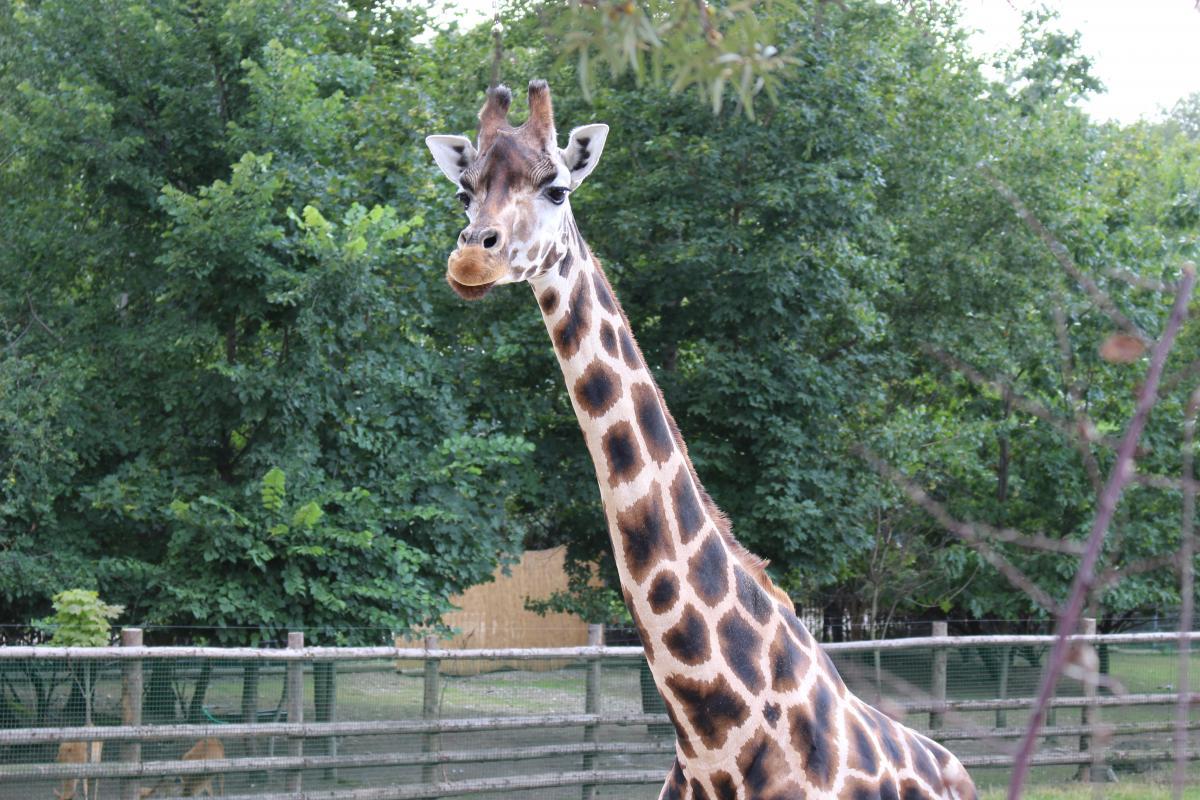 Giraffe Africa Animal