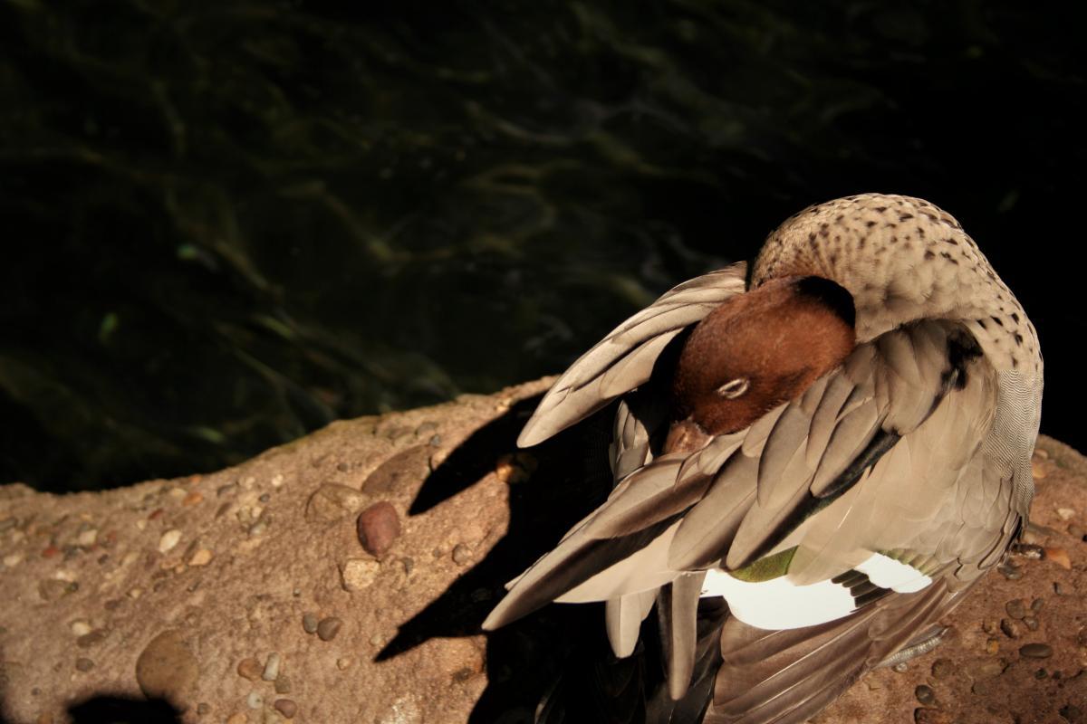 Dove Bird Hunter