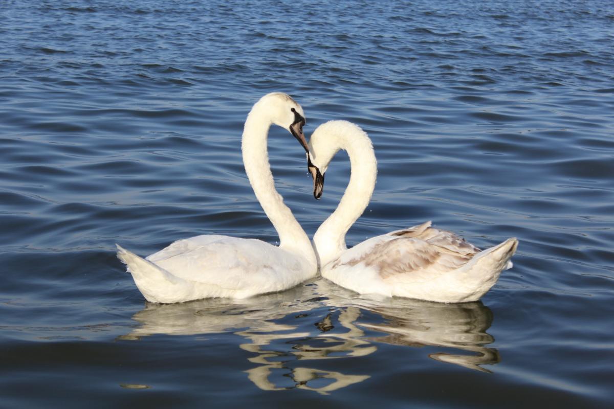 Swan Aquatic bird Bird