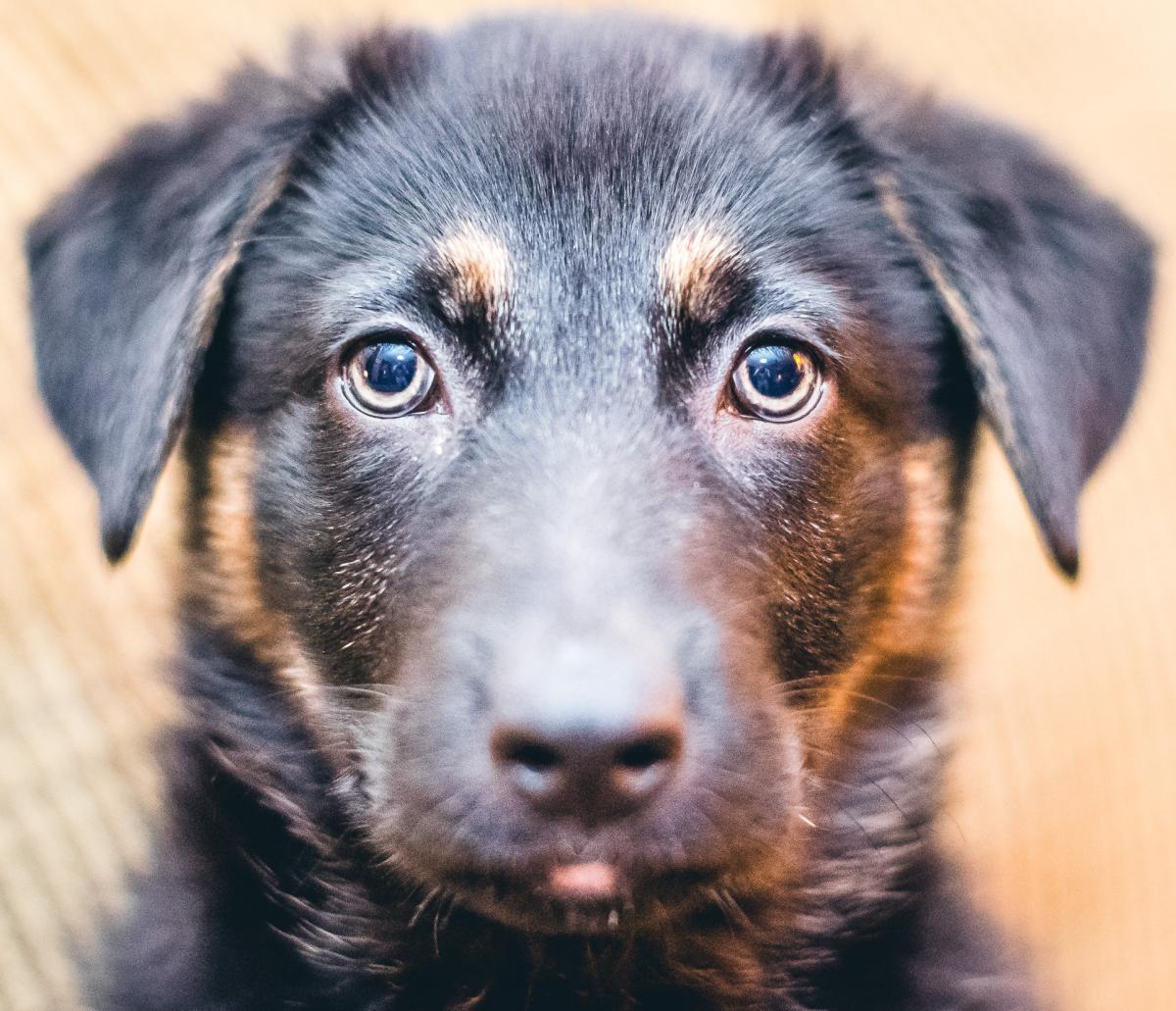 Puppy Dog Eyes #25533