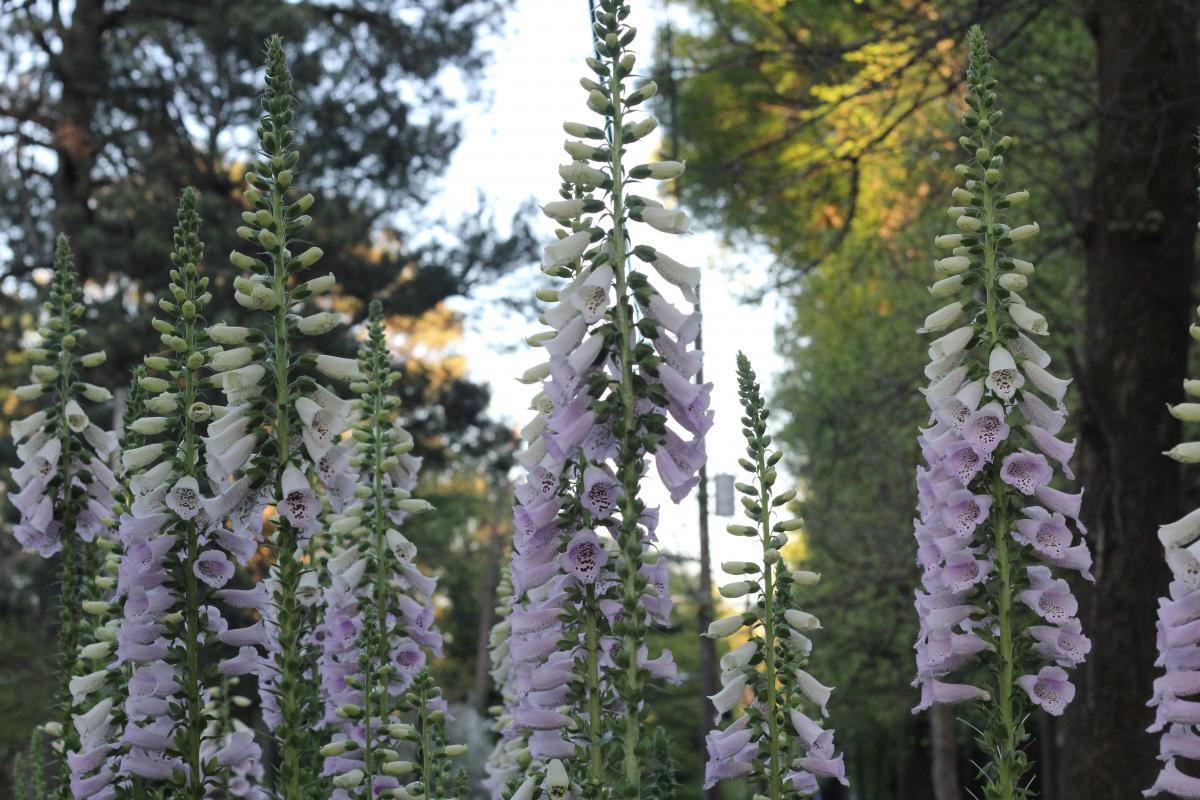 Fir Pine Tree #257794