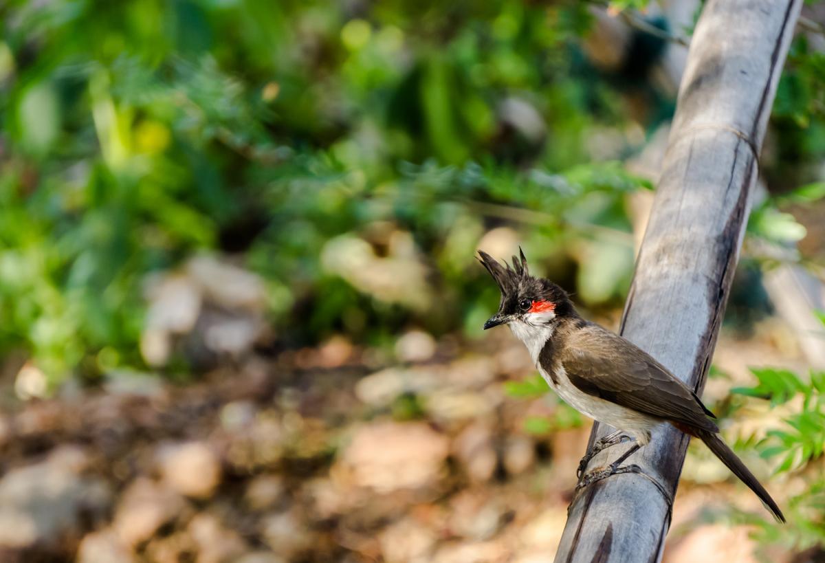 Nightingale Thrush Bird