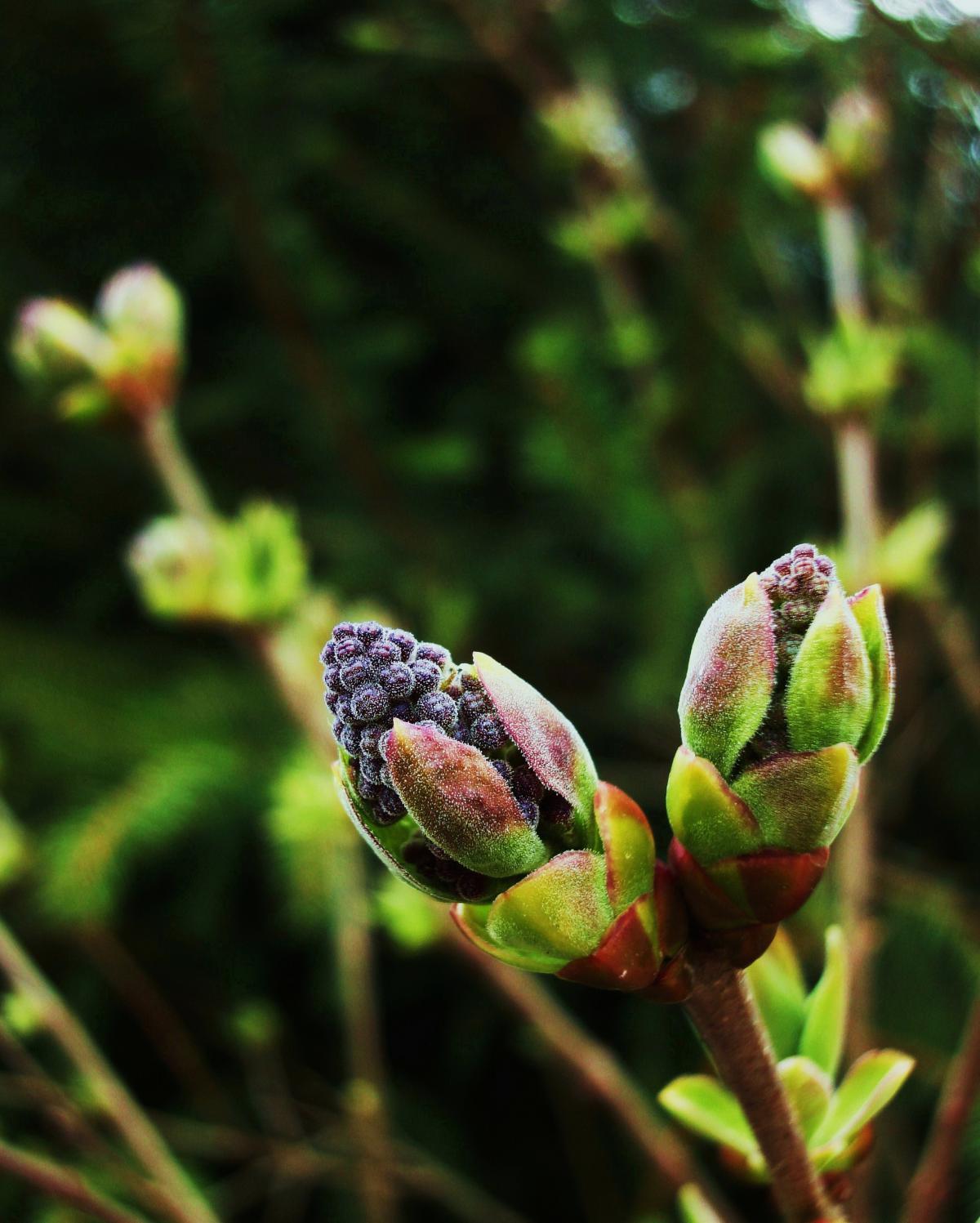 lilac bush in the morning