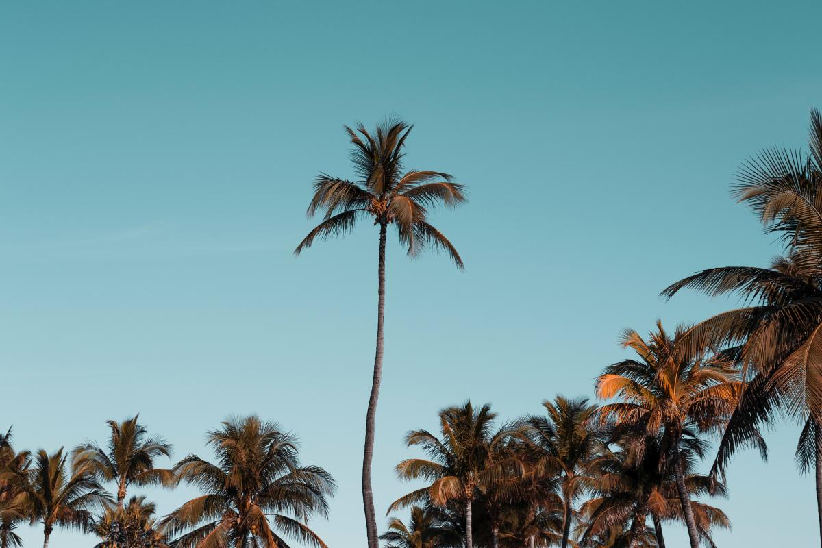 Coconut Palm Tropical