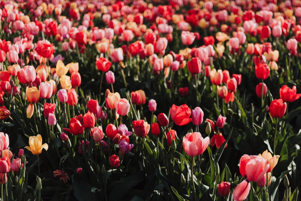 Tulip Tulips Spring #276396