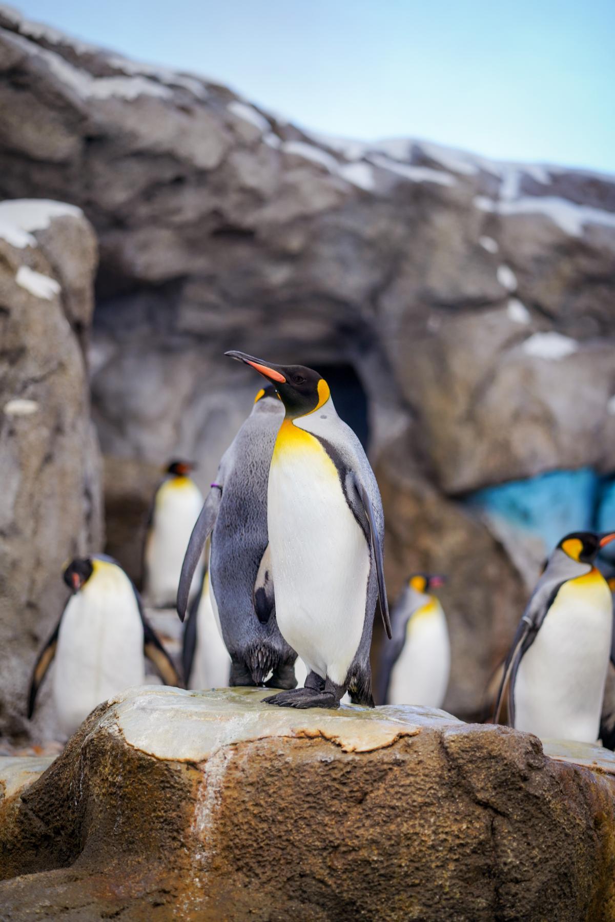 King penguin Penguin Seabird #282613