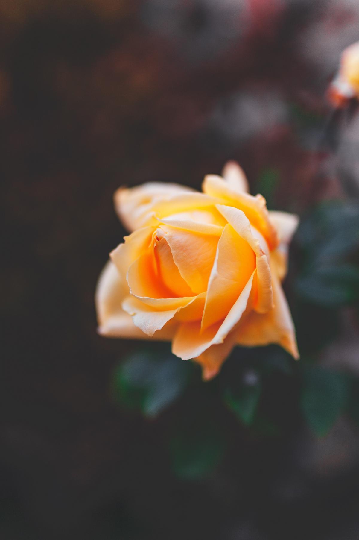 Bud Rose Flower