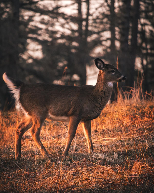 Mammal Wildlife Buck #296779