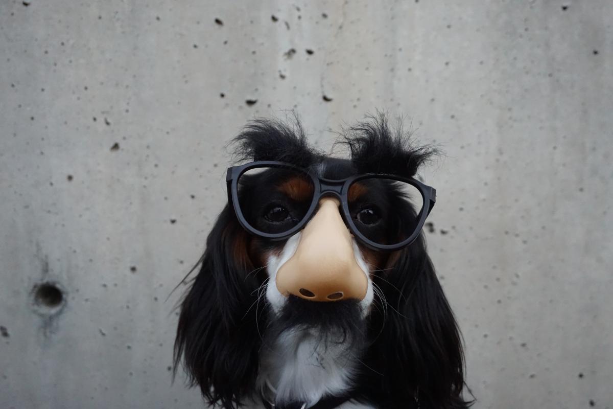White and Black Long Coated Dog Wearing Black Sunglasses