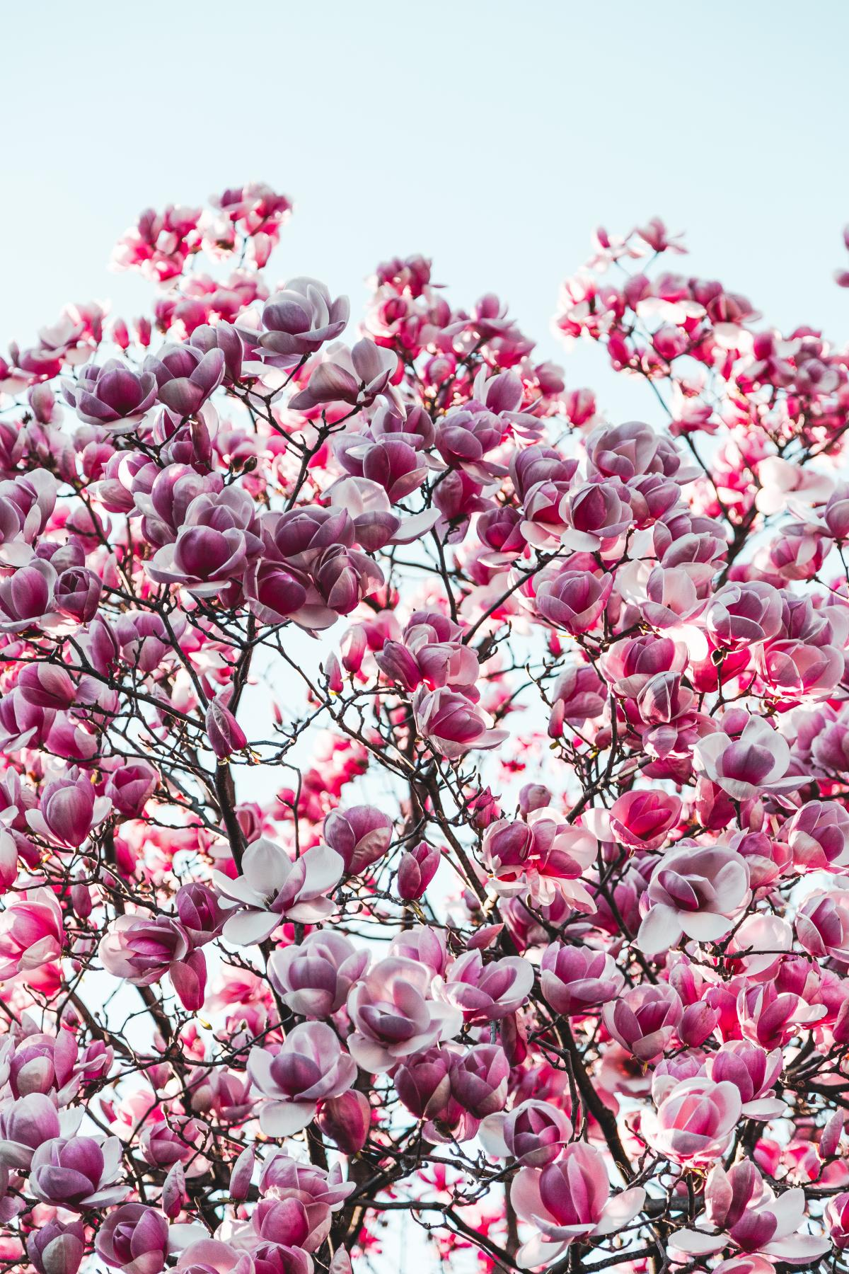 Purple and Pink Sakura Tree Photography #337722