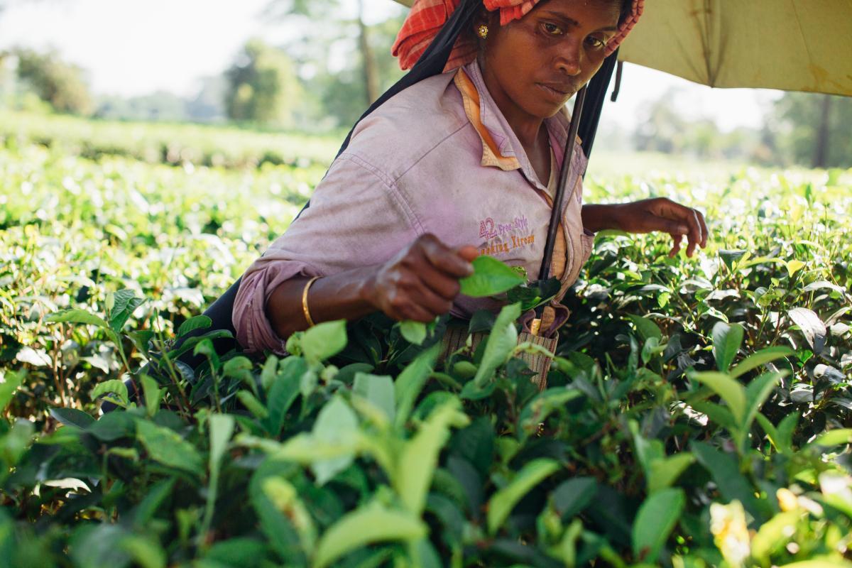 Woman Picking Tea Leaves #341455