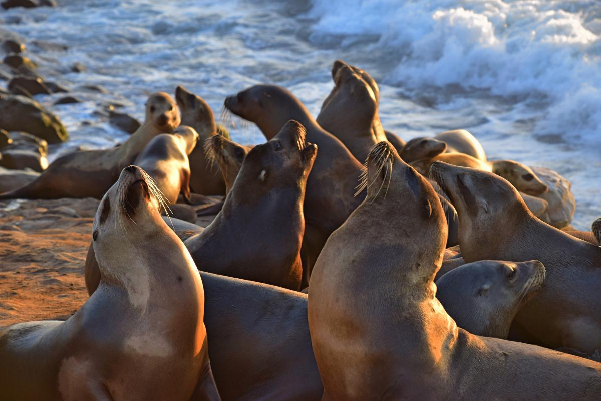 Sea lion Eared seal Seal #343371