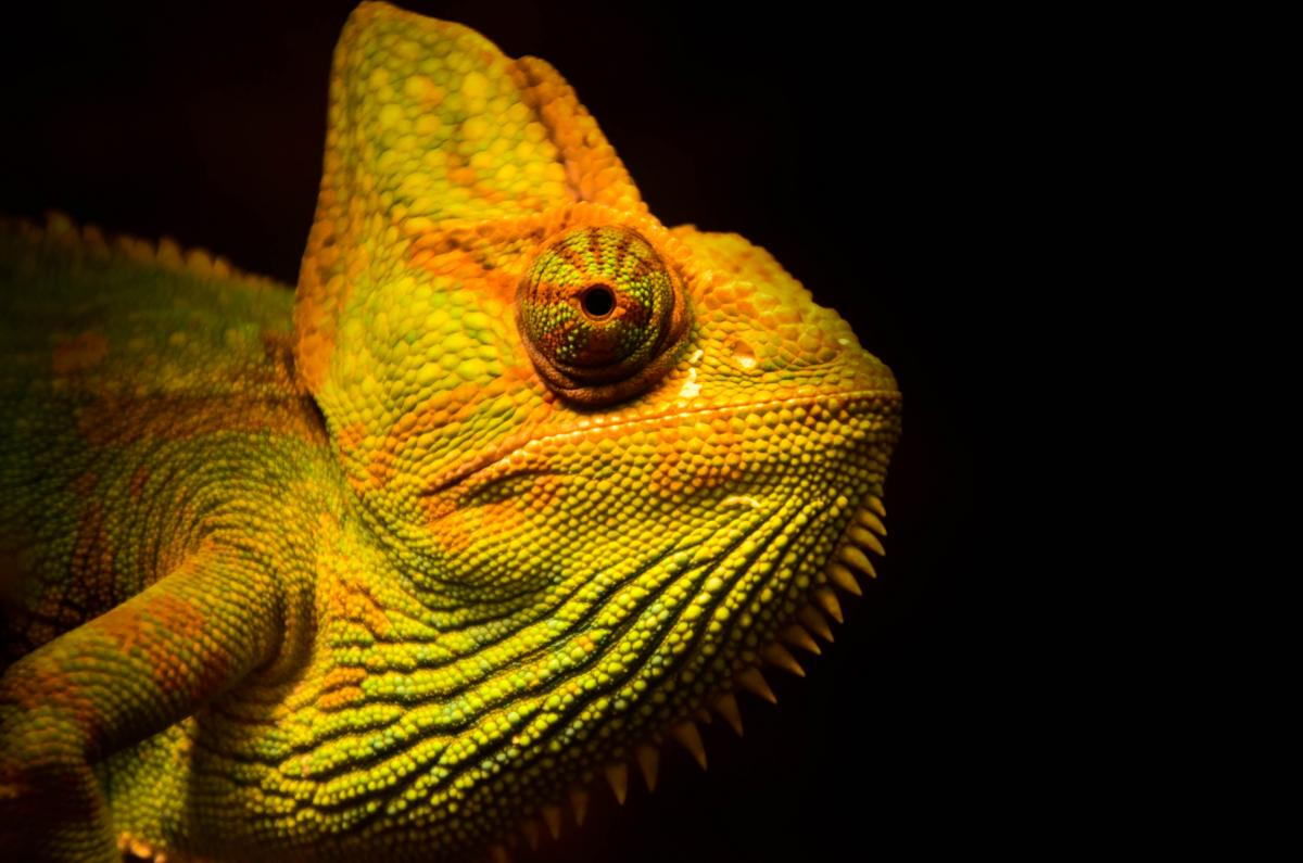 Chameleon Person Lizard