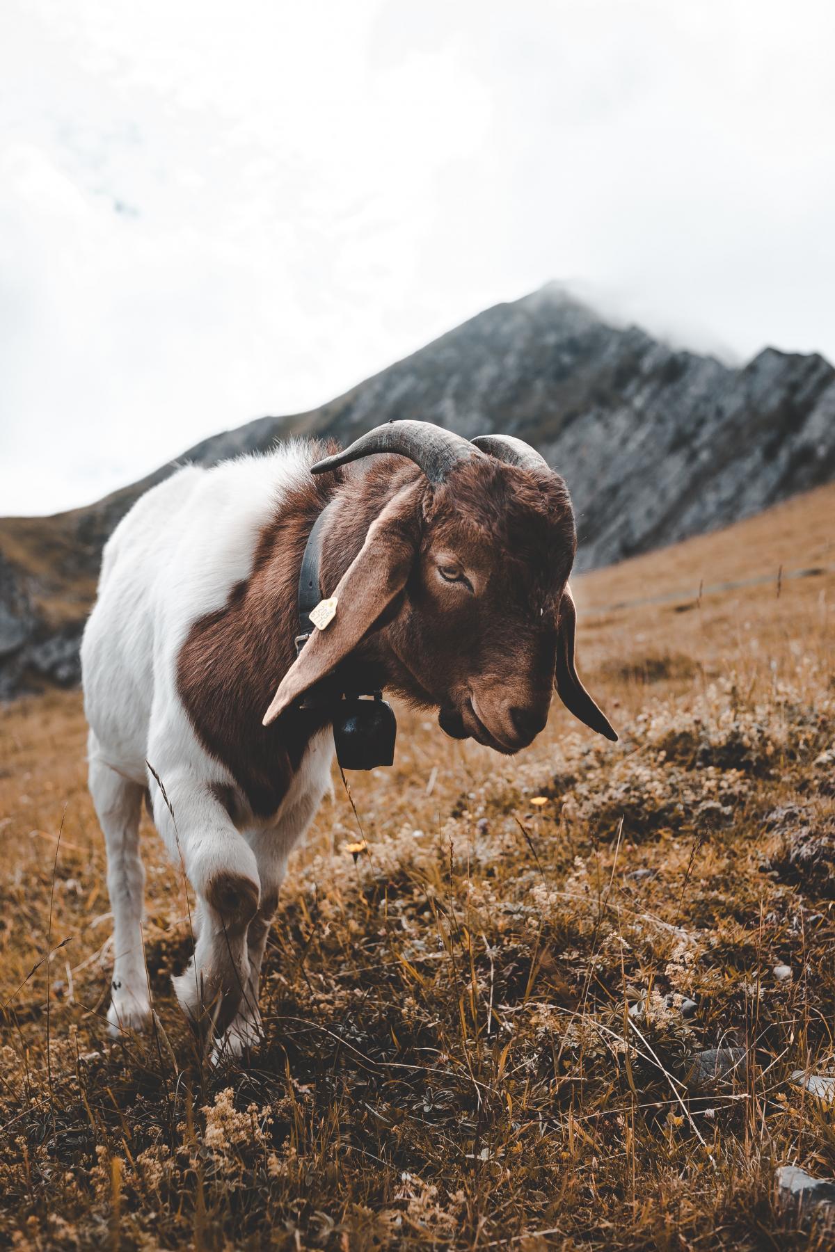 Cow Cattle Farm