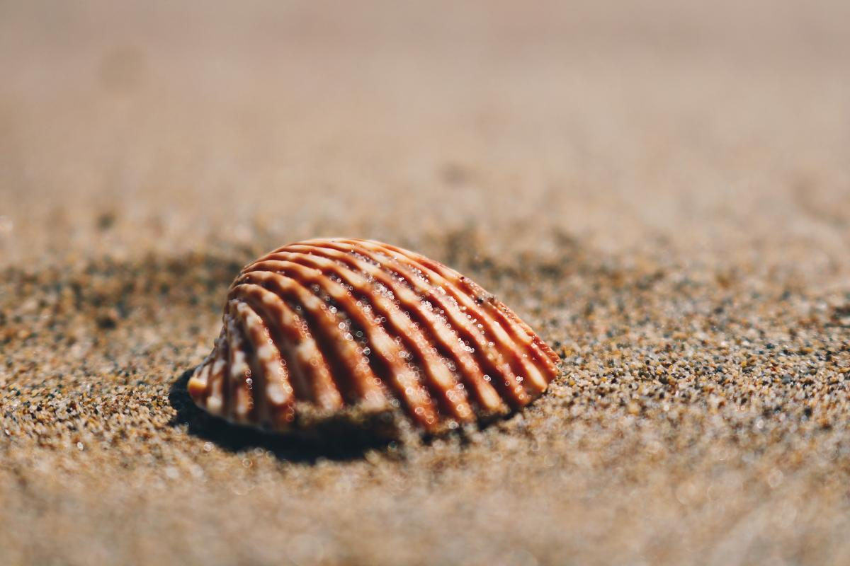 Mollusk Shell Bivalve