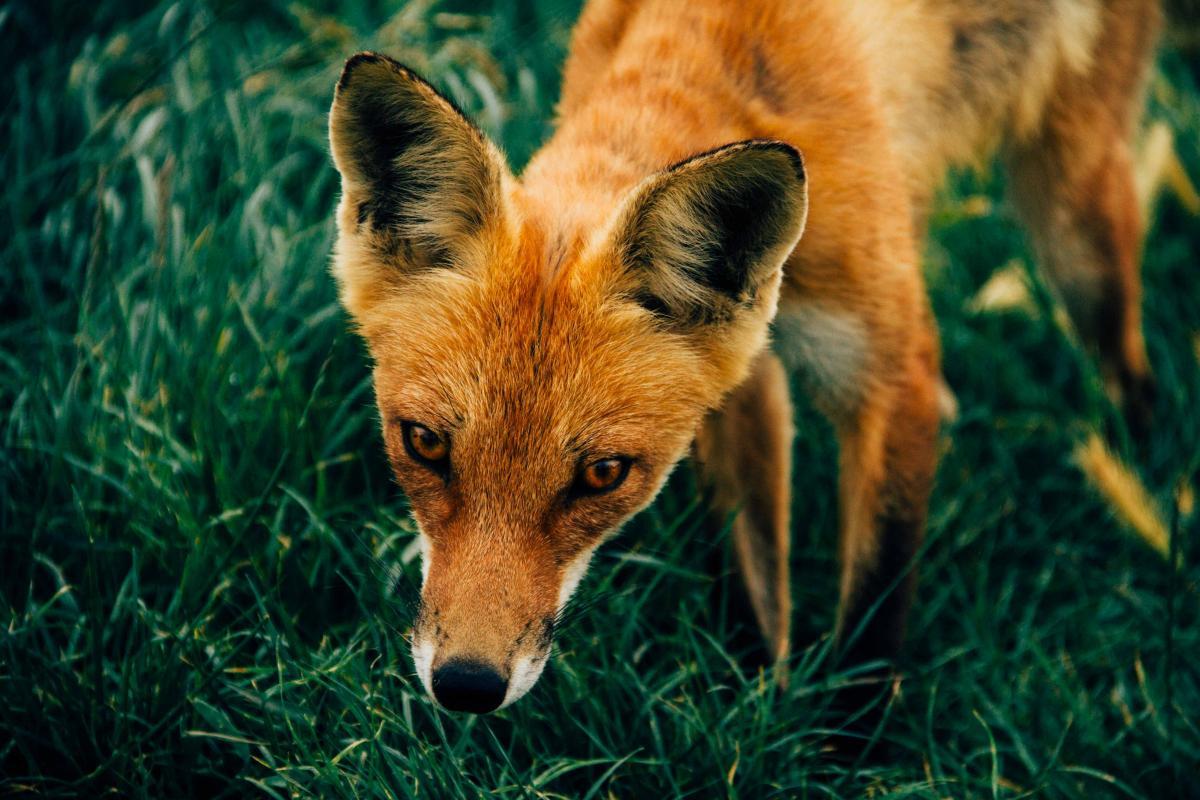 Red fox Fox Canine
