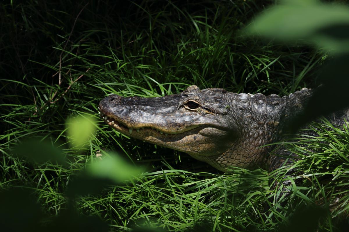 Alligator Reptile Wildlife
