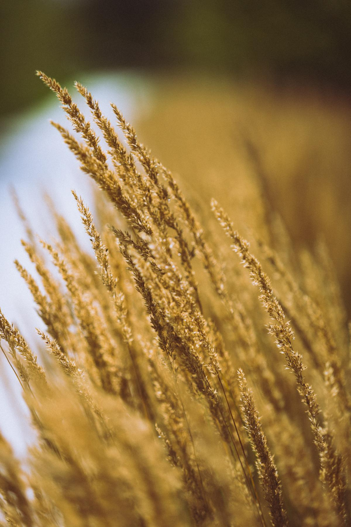 Wheat Cereal Field #380482