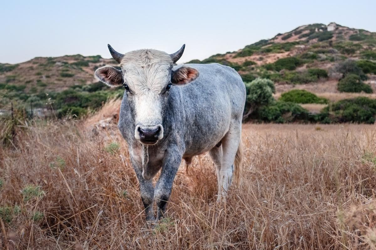 Livestock Cow Farm