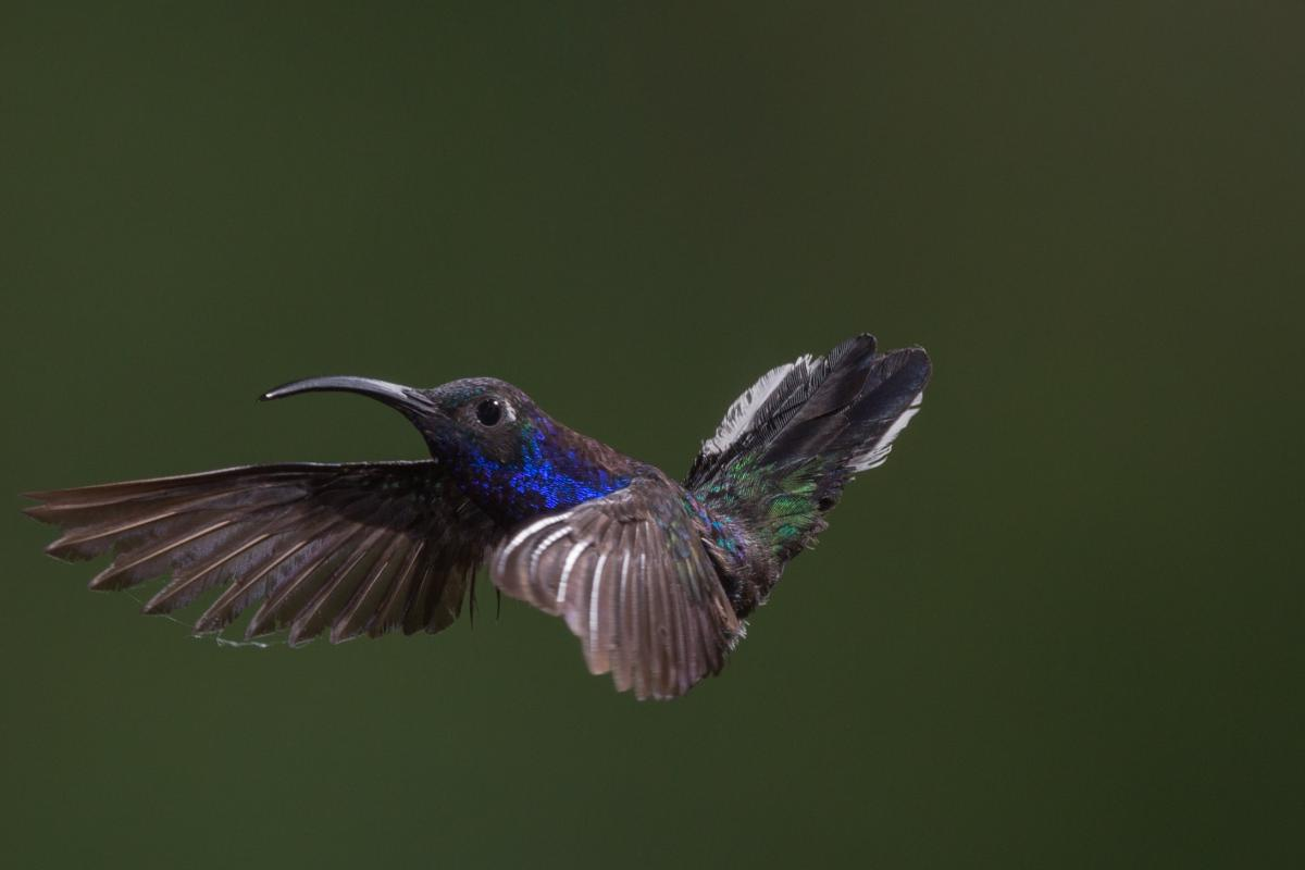 Hummingbird Bird Wildlife #381891