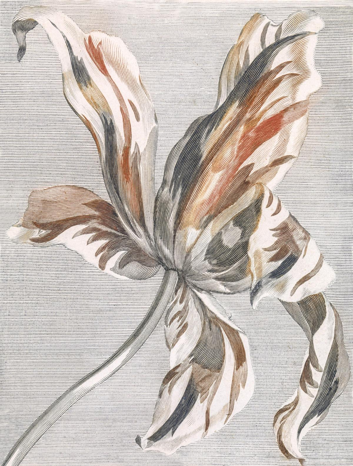 Tulip by Johan Teyler (1648-1709). Original from The Rijksmuseum.