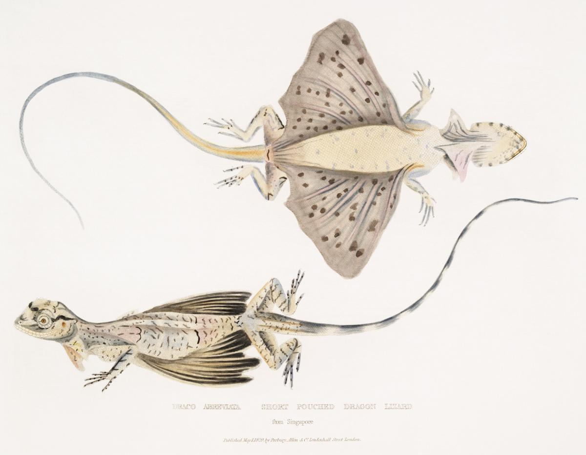 Short Puched Dragon (Draco abreviata) from Illustrations of Indian zoology (1830-1834) by John Edward Gray (1800-1875). Original from The New York Public Library.