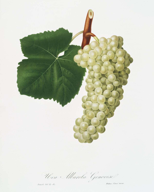 White Grape (Vitis vinifera genuensis) from Pomona Italiana (1817 - 1839) by Giorgio Gallesio (1772-1839). Original from The New York Public Library.