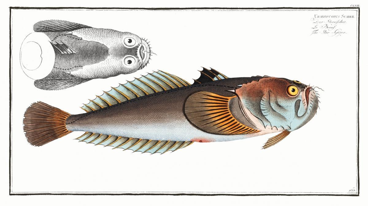 Star-Gazer (Uranoscopus Scaber) from Ichtylogie, ou Histoire naturelle: génerale et particuliére des poissons (1785–1797) by Marcus Elieser Bloch. Original from New York Public Library.