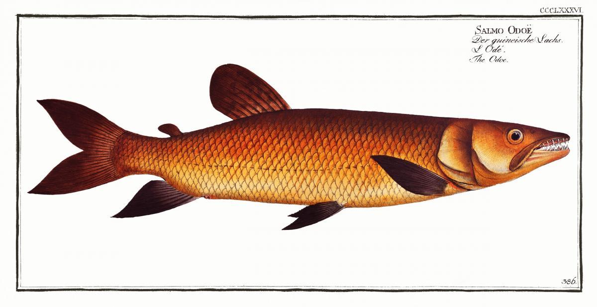 Odoe (Salmo Odoe) from Ichtylogie, ou Histoire naturelle: génerale et particuliére des poissons (1785–1797) by Marcus Elieser Bloch. Original from New York Public Library.  #387479