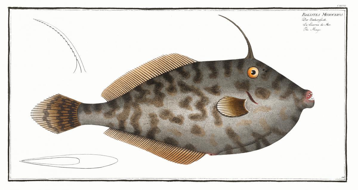 Mingo (Balistes Monoceros) from Ichtylogie, ou Histoire naturelle: génerale et particuliére des poissons (1785–1797) by Marcus Elieser Bloch. Original from New York Public Library.  #387562
