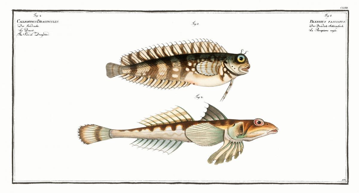 1. Blennius fasciatus 2. Sordid Dragoned (Callionymus Dracunculus) from Ichtylogie, ou Histoire naturelle: génerale et particuliére des poissons (1785–1797) by Marcus Elieser Bloch. Original from New York Public Library.