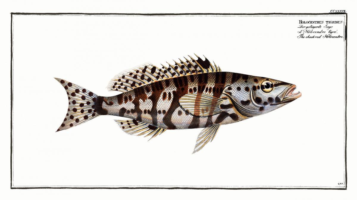 Checkred Holocentre (Holocentrus tigrinus) from Ichtylogie, ou Histoire naturelle: génerale et particuliére des poissons (1785–1797) by Marcus Elieser Bloch. Original from New York Public Library.