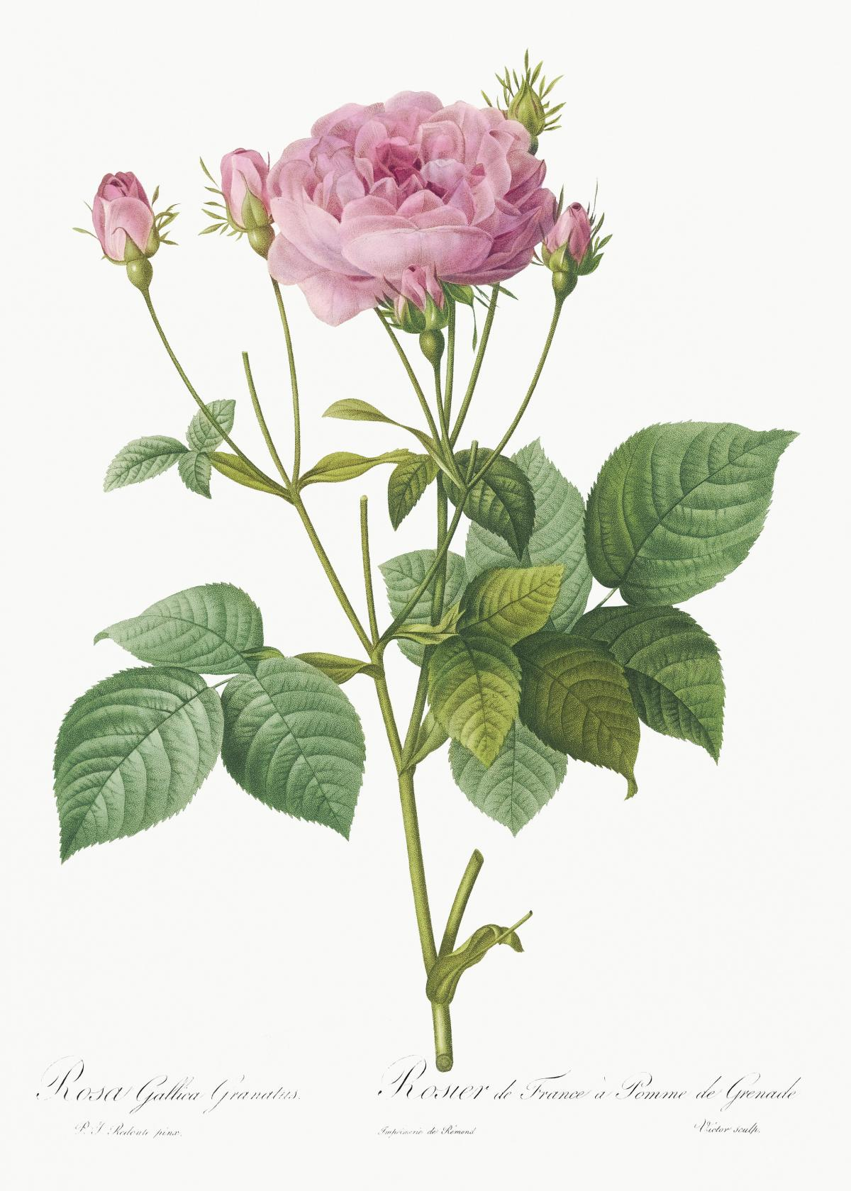 Rosa gallica granules, also known as Rosebush of France with Pomegranate from Les Roses (1817–1824) by Pierre-Joseph Redouté. Original from the Library of Congress.