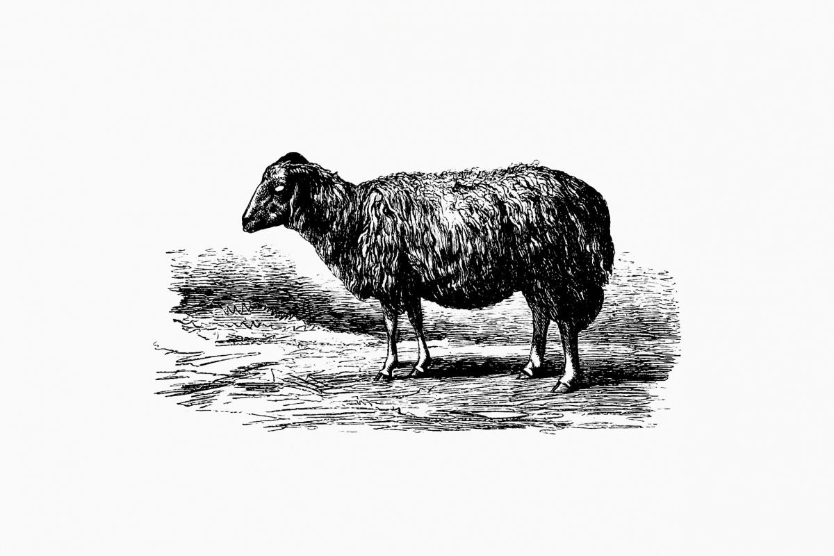 Sheep, In The Malakani Colony from Russia Described And Illustrated By Dixon, Biancardi, Moynet, Vereschaguine And Henriet, And By Professor A. Degubernatis (1877). Original from the British Library.  #389110