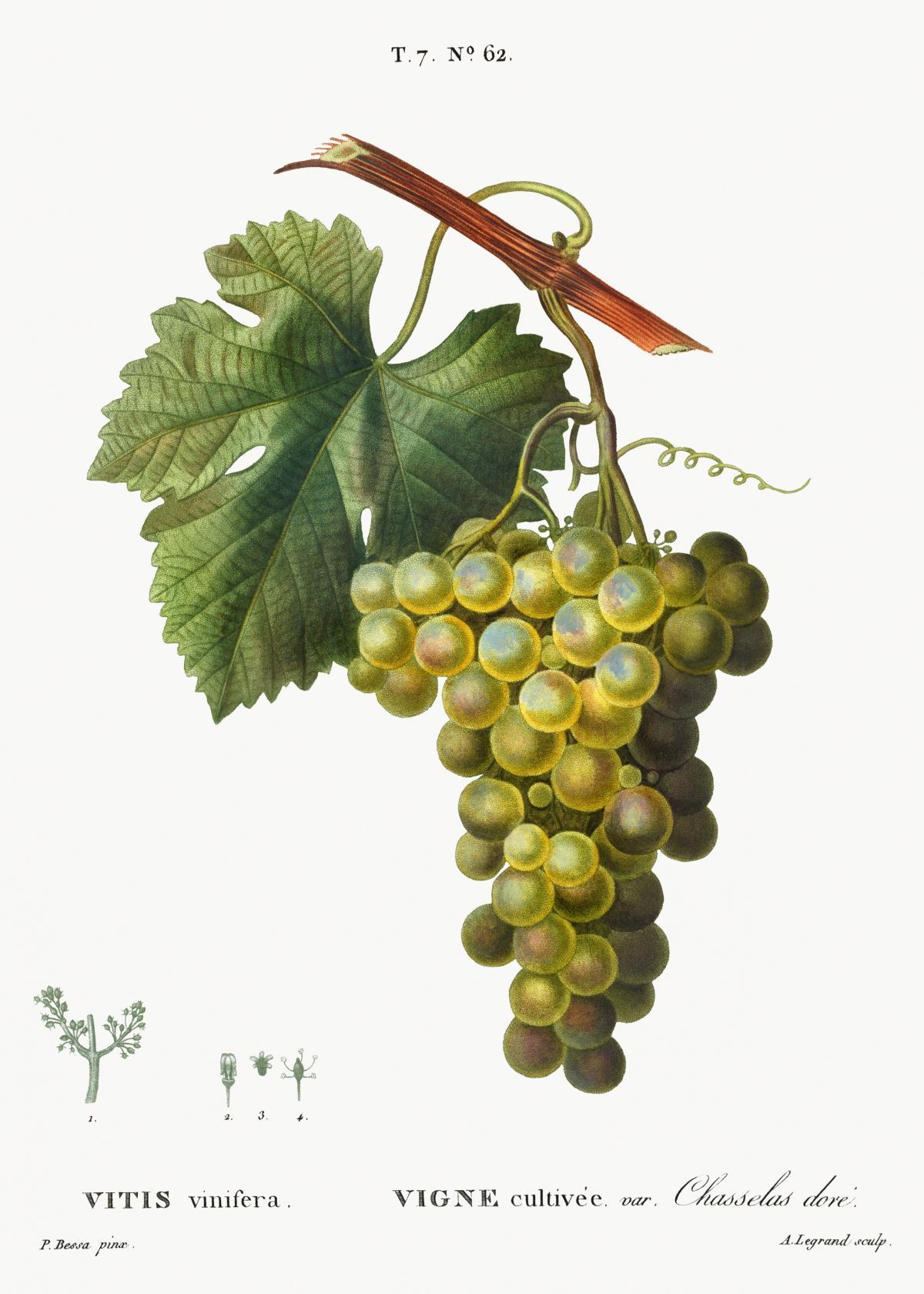 Grape vine, Vitis vinifera from Traité des Arbres et Arbustes que l'on cultive en France en pleine terre (1801–1819) by Pierre-Joseph Redouté. Original from the New York Public Library.