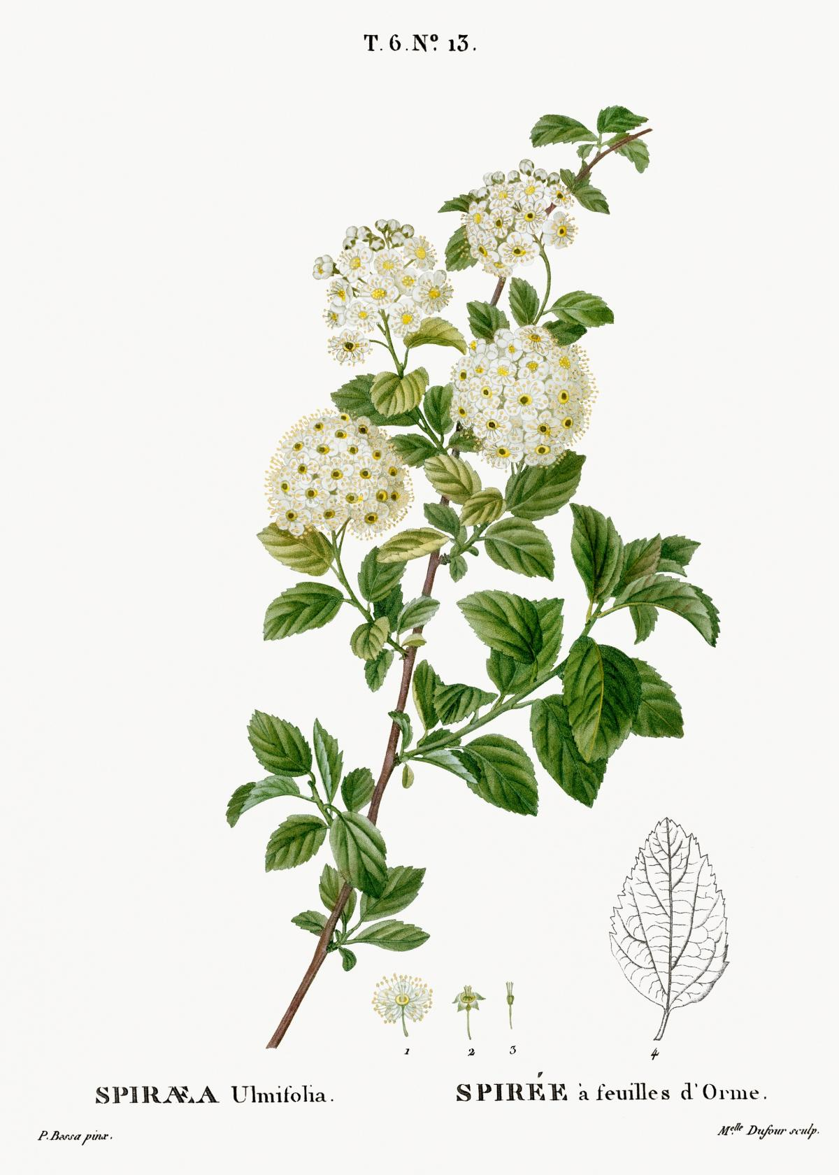 Germander meadowsweet, Spiraea ulmifolia from Traité des Arbres et Arbustes que l'on cultive en France en pleine terre (1801–1819) by Pierre-Joseph Redouté. Original from the New York Public Library.  #389396