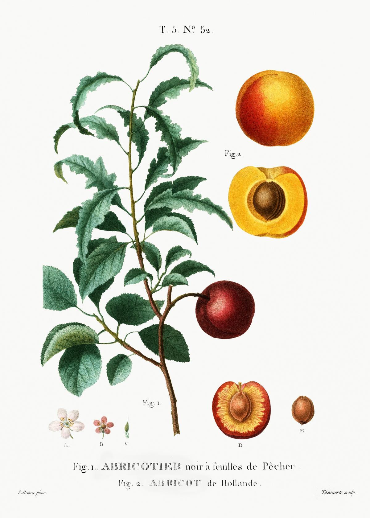 Inside part of apricot. Apricot from Holland (Abricot de Hollande) from Traité des Arbres et Arbustes que l'on cultive en France en pleine terre (1801–1819) by Pierre-Joseph Redouté. Original from the New York Public Library.