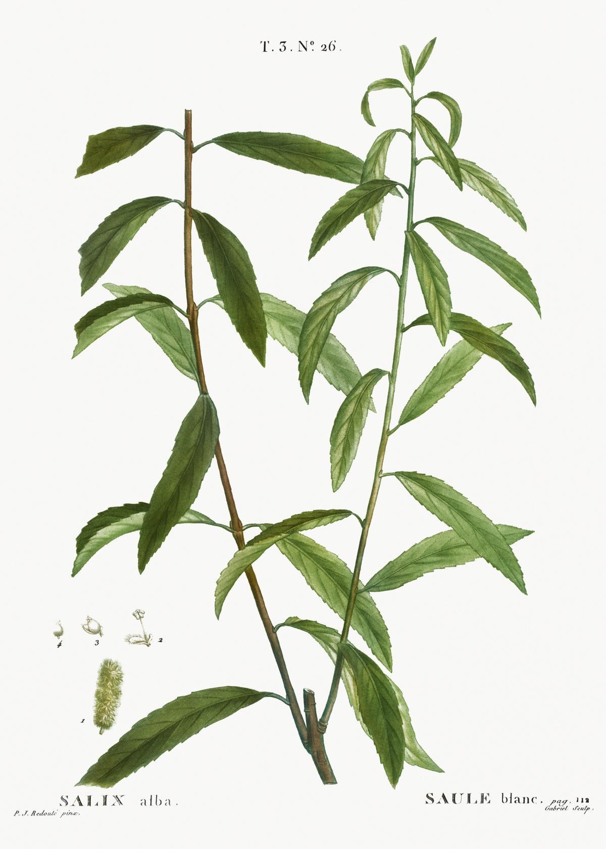 White willow, Salix alba from Traité des Arbres et Arbustes que l'on cultive en France en pleine terre (1801–1819) by Pierre-Joseph Redouté. Original from the New York Public Library.