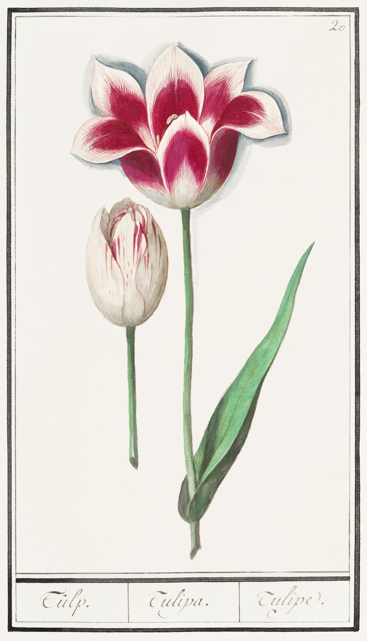 Tulip, Tulipa (1596–1610) by Anselmus Boëtius de Boodt. Original from the Rijksmuseum.  #389783