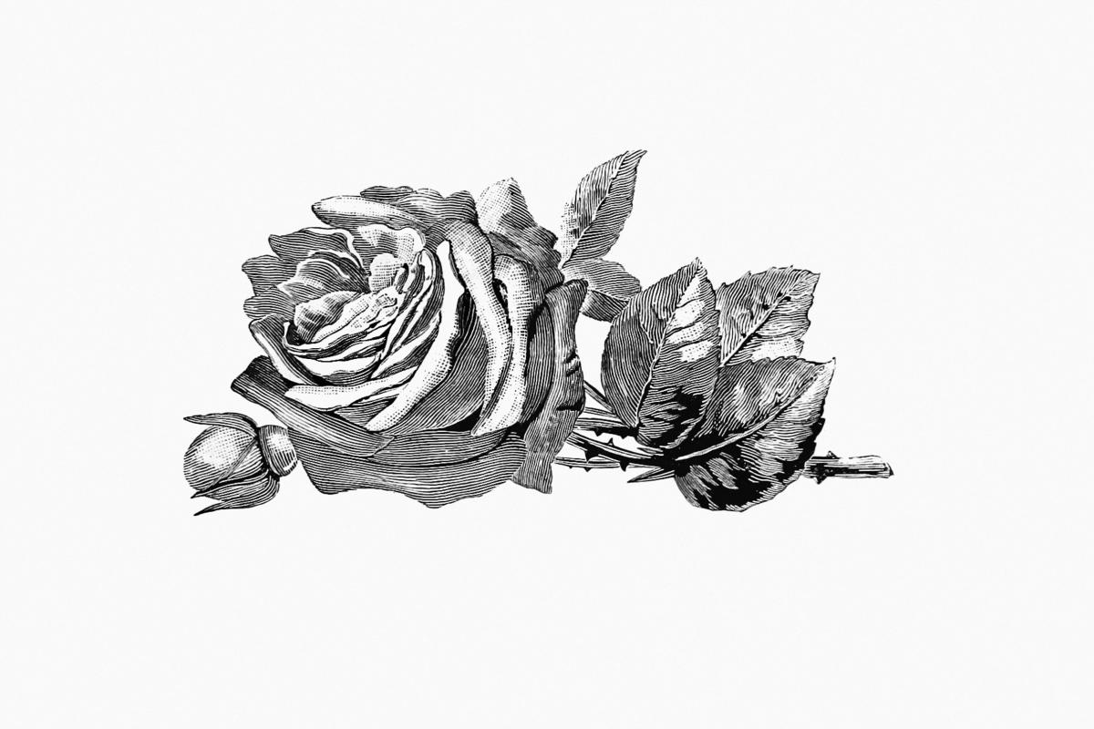 Vintage Victorian style rose engraving. Original from the British Library.