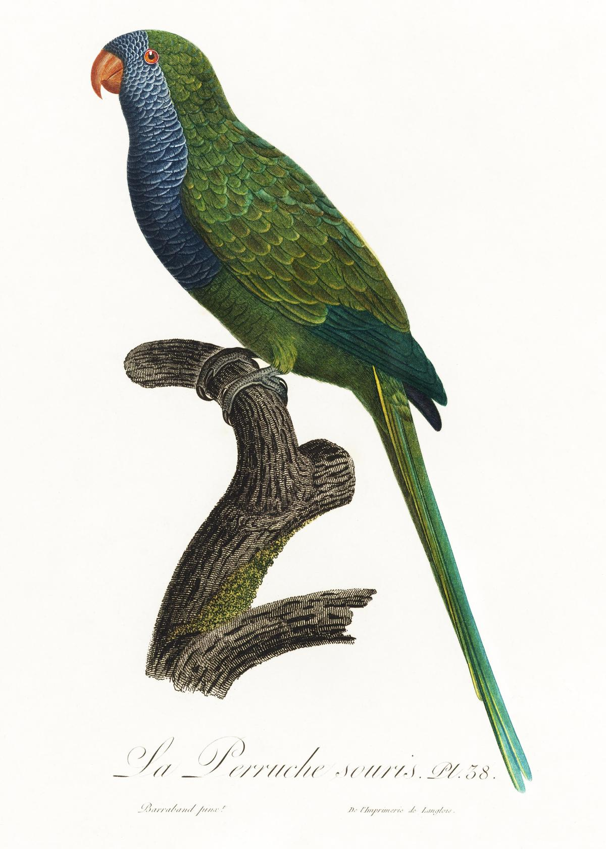 The Monk Parakeet, Myiopsitta monachus from Natural History of Parrots (1801—1805) by Francois Levaillant. Original from the Biodiversity Heritage Library.  #390437