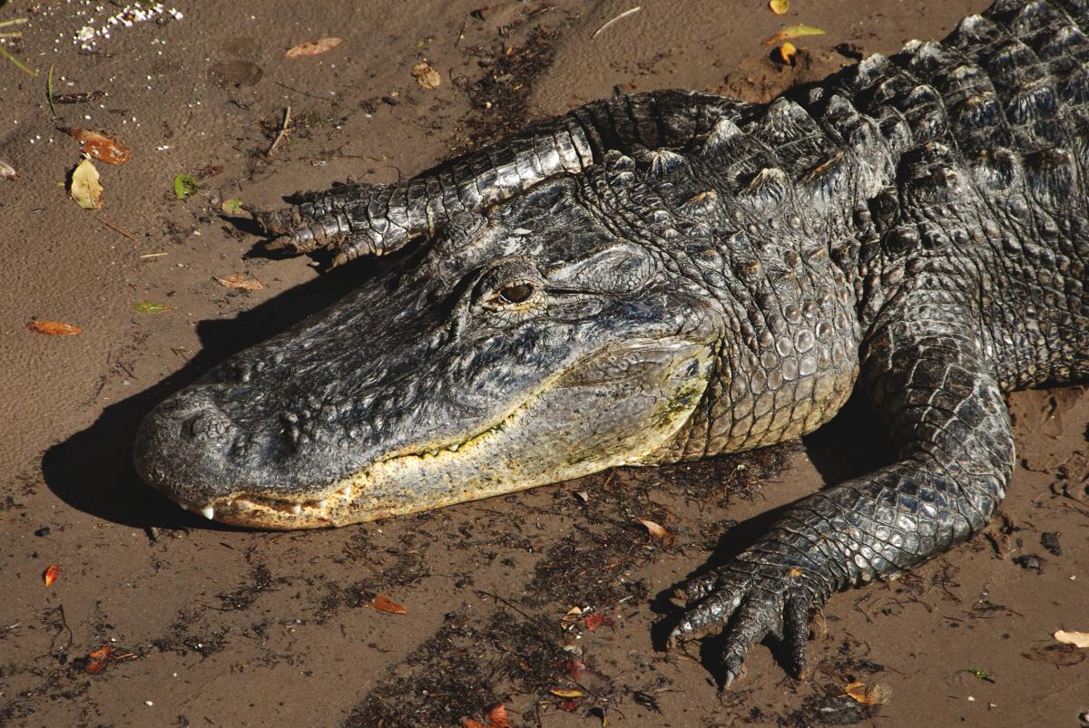An alligator basks in the sun on the bank of the Banana River near NASA's Kennedy Space Center in Florida. Original from NASA .